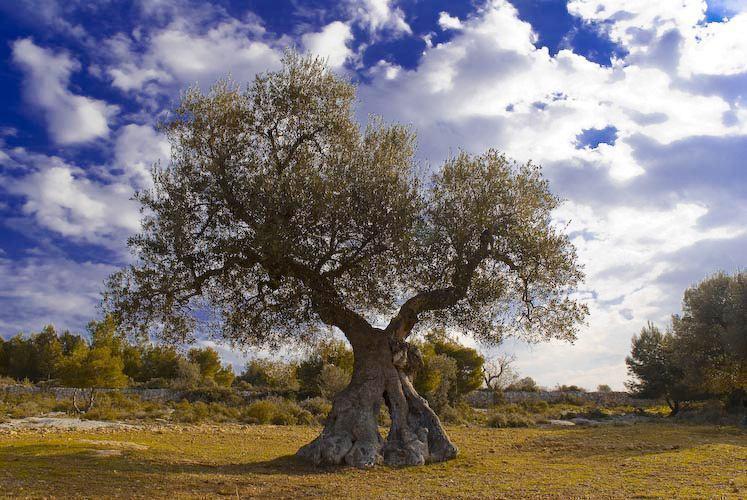 Invito alla dimostrazione della potatura dell'olivo